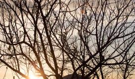 Rami nudi di un albero al sole di alba Immagine Stock