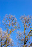 Rami nudi di un albero contro cielo blu Fotografia Stock