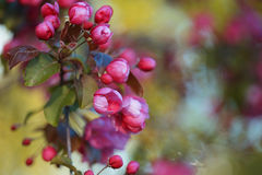 Rami in pieno dei mazzi di fiori rosa su di melo Fotografia Stock Libera da Diritti