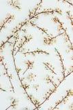 Rami sboccianti della molla di un albero da frutto con i fiori bianchi su un fondo bianco Immagine Stock Libera da Diritti