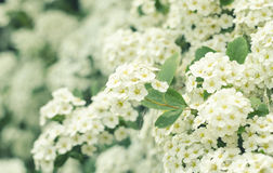 Rami sboccianti di bello bianco della primavera Fondo di primavera Fine in su Ramo della primavera di un albero, con piccolo bian Fotografia Stock Libera da Diritti