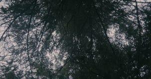 Rami scuri dell'abete sparati da una macchina fotografica girante nei Carpathians immagini stock