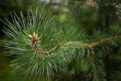 Rami spinosi verdi di un pelliccia-albero o di un pino fotografie stock libere da diritti