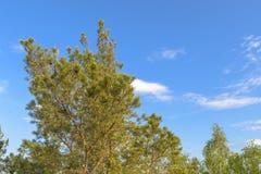 Rami superiori del pino sul cielo blu del fondo Fotografie Stock