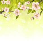 Rami svegli di Cherry Blossom Tree Immagini Stock Libere da Diritti