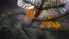 Rami verdi con gli aghi attillati, con le foglie gialle, primo piano Rallentatore HD 1920x1080 video d archivio
