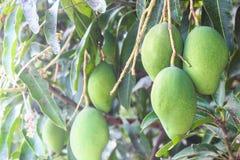 Rami verdi del mango Fotografie Stock