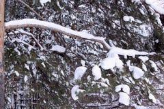 Rami verdi del pino innevato nella foresta di inverno fotografie stock libere da diritti