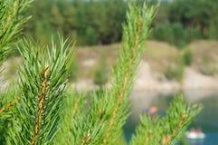 Rami verdi del pino sul lago in montagne fotografie stock libere da diritti