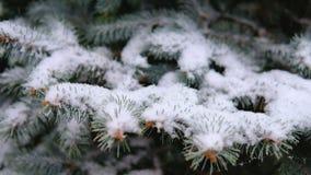 Rami verdi dell'abete rosso, abete sotto la neve Albero sempreverde La prima neve, autunno, molla, inverno in anticipo Movimento  stock footage