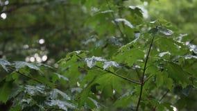 Rami verdi dell'acero sotto la pioggia di caduta stock footage