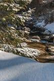 Rami verdi dell'albero di abete coperti di neve in Sunny Day nell'orario invernale Fotografie Stock Libere da Diritti