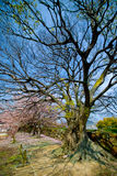 Rami vuoti degli alberi di sakura fotografia stock libera da diritti