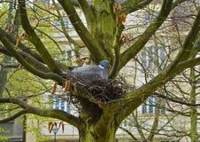 Ramier commun dans un nid au printemps Photos libres de droits