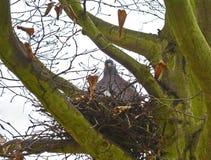 Ramier commun dans un nid au printemps Images libres de droits