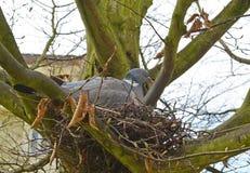 Ramier commun dans un nid au printemps Photographie stock