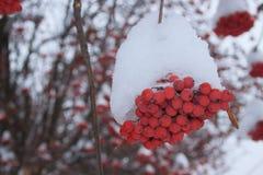 Ramifica a cinza de montanha coberta com a neve Fotos de Stock Royalty Free