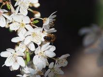 Ramifica el fondo blanco de la naturaleza del jardín del néctar de los pétalos de las abejas de la primavera de las flores del ár Fotos de archivo libres de regalías