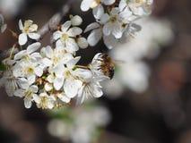 Ramifica el fondo blanco de la naturaleza del jardín del néctar de los pétalos de las abejas de la primavera de las flores del ár Imagen de archivo