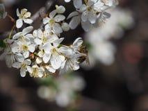 Ramifica el fondo blanco de la naturaleza del jardín del néctar de los pétalos de las abejas de la primavera de las flores del ár Imágenes de archivo libres de regalías