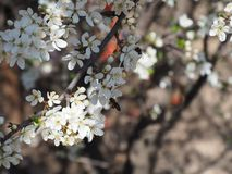 Ramifica el fondo blanco de la naturaleza del jardín del néctar de los pétalos de las abejas de la primavera de las flores del ár Fotografía de archivo libre de regalías