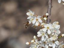 Ramifica el fondo blanco de la naturaleza del jardín del néctar de los pétalos de las abejas de la primavera de las flores del ár Fotografía de archivo