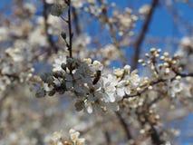 Ramifica el fondo blanco de la naturaleza del jardín del néctar de los pétalos de las abejas de la primavera de las flores del ár Foto de archivo libre de regalías