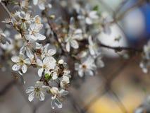 Ramifica el fondo blanco de la naturaleza del jardín del néctar de los pétalos de las abejas de la primavera de las flores del ár Foto de archivo