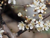 Ramifica el fondo blanco de la naturaleza del jardín del néctar de los pétalos de las abejas de la primavera de las flores del ár Fotos de archivo
