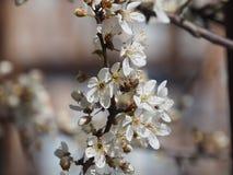 Ramifica el fondo blanco de la naturaleza del jardín del néctar de los pétalos de las abejas de la primavera de las flores del ár Imagenes de archivo