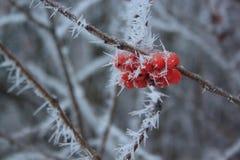 Ramifica a tarde coberta da hoar-geada da cinza de montanha na floresta do inverno Imagens de Stock Royalty Free