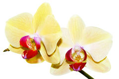 Ramificación amarilla de la orquídea imagenes de archivo
