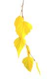 Ramificación amarilla del otoño Imagen de archivo