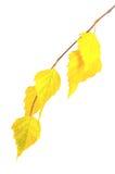 Ramificación amarilla del otoño Fotografía de archivo libre de regalías