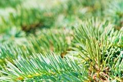 Ramificación conífera verde joven de un pino Fotografía de archivo