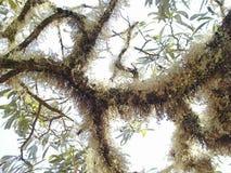Rama de árbol con el musgo Imagenes de archivo