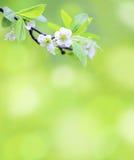 Ramificación de árbol con las flores de la cereza Fotografía de archivo