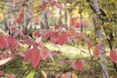Ramificación de árbol con las hojas rojas Fotos de archivo libres de regalías