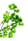 Ramificación de árbol con las hojas verdes Imagenes de archivo