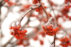 Ramificación de árbol congelada con las bayas de serbal Imágenes de archivo libres de regalías
