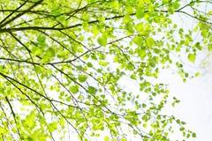 Ramificación de árbol de abedul de la primavera Fotografía de archivo libre de regalías