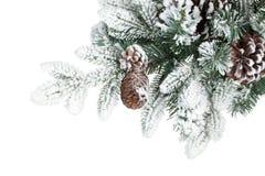 Ramificación de árbol de abeto con los conos cubiertos con nieve Fotos de archivo libres de regalías