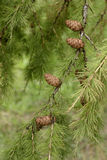 Ramificación de árbol de alerce con los conos y las agujas verdes Foto de archivo libre de regalías
