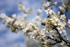Ramificación de árbol de la abeja y del flor Fotografía de archivo libre de regalías
