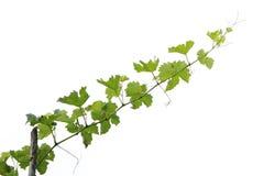 Ramificación de árbol de la uva Imagen de archivo libre de regalías