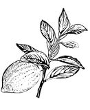 Ramificación de árbol de limón del vector Imagenes de archivo