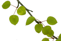 Ramificación de árbol de pera foto de archivo