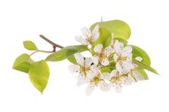 Ramificación de árbol de pera en la floración Imagen de archivo