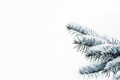 Ramificación de árbol de pino con nieve en ella Fotos de archivo libres de regalías