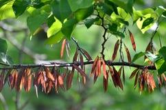 Ramificación de árbol de Redbud. Fotos de archivo libres de regalías